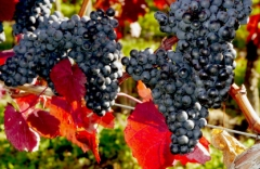 vinograd_vibor1