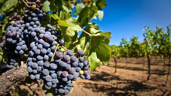 vinograd_vibor3