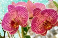 kak_rasmnogit_orhideu1