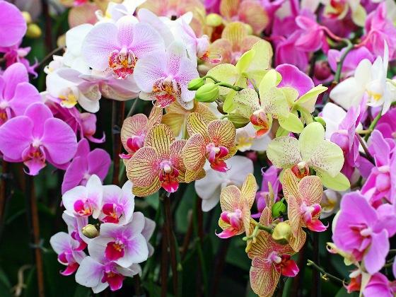 kak_rasmnogit_orhideu2