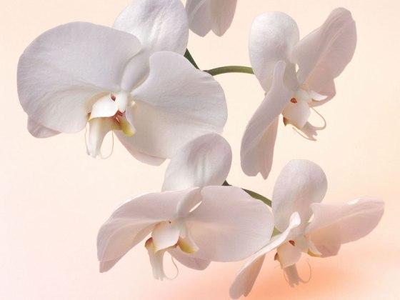 kak_rasmnogit_orhideu3