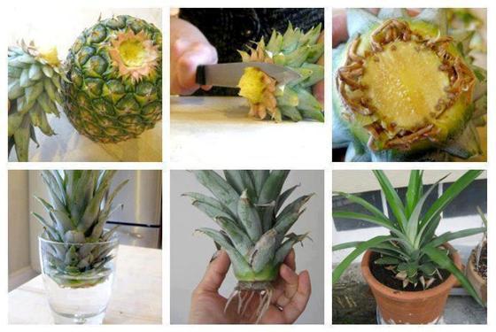 posadka-ananasa2