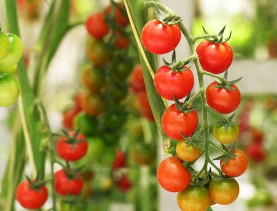 rashhivanie-pomidorovvteplitse3