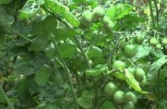 pomidorka1