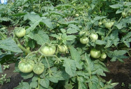 pomidorka2