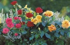 karlic rozi