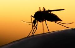 mosquito1