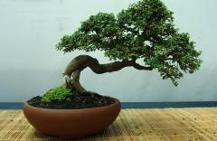 bonsia