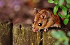 Как избавится от мышей на участке